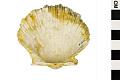 View Round-rib Scallop, Ravenel's Scallop digital asset number 1