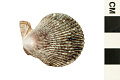 View Variegated Scallop digital asset number 0