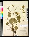 View Geum calthifolium Menzies ex Sm. digital asset number 0