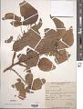View Pipturus argenteus (G. Forst.) Wedd. digital asset number 1