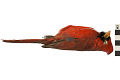 View Northern Cardinal digital asset number 4
