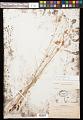 View Cyperus fendlerianus Boeckeler digital asset number 0