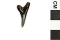View Fossil Shark, Weasel shark, Snaggletooth shark digital asset number 9