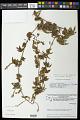 View Serjania caracasana (Jacq.) Willd. digital asset number 0