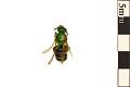 View Metallic Green Bee digital asset number 0