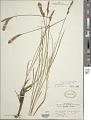 View Carex vestita Willd. digital asset number 1