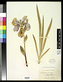 View Iris germanica L. digital asset number 0