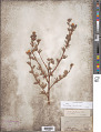 View Dasiphora fruticosa (L.) Rydb. digital asset number 1