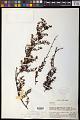 View Cladomyza angustifolia Stauffer digital asset number 0