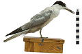 View Common Tern digital asset number 2