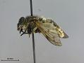 View Hybomitra stigmoptera fuji digital asset number 2