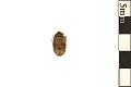 View Bean Weevil, Seed Beetle digital asset number 0