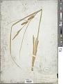 View Carex utriculata var. minor Boott digital asset number 1