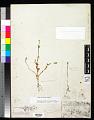 View Portulaca umbraticola subsp. lanceolata (Engelm.) J.F. Matthews & Ketron digital asset number 0