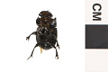 View Scarab Beetle, Rhinocercos beetle digital asset number 2