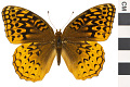 View Great Spangled Fritillary digital asset number 0