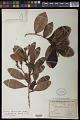 View Humiria balsamifera var. floribunda (Mart.) Cuatrec. digital asset number 0