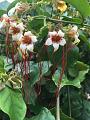 View Strophanthus preussii Engl. & Pax digital asset number 2