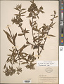 View Euphorbia furcillata Kunth digital asset number 1