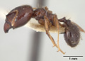 View Pheidole walkeri digital asset number 2