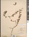 View Euphorbia nutans Lag. digital asset number 1