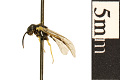 View Common Sawfly digital asset number 0