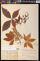 View Aesculus glabra Willd. digital asset number 0