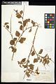 View Crotalaria verrucosa L. digital asset number 0