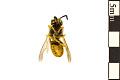 View German Wasp digital asset number 1