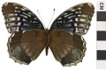 View Diana Fritillary, Brush-footed Butterfly digital asset number 2
