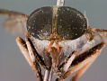 View Cydistomyia (Cydistomyia) tibialis digital asset number 1