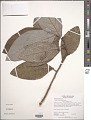View Aristolochia panamensis Standl. digital asset number 1
