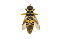 View Hoverfly, Yellow Jacket Hover Fly digital asset number 0