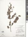 View Securidaca rivinifolia var. parvifolia A.W. Benn. digital asset number 1