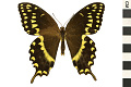 View Laurel Swallowtail, Palamedes Swallowtail digital asset number 2