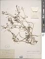 View Fumaria officinalis var. media (Loisel.) Cout. digital asset number 1