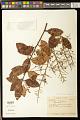 View Bredemeyera altissima (Poepp.) A.W. Benn. digital asset number 0