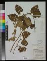 View Rubus moluccanus L. digital asset number 0