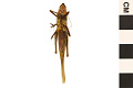 View Broad-tipped Conehead, Long-horned Grasshopper digital asset number 1