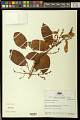 View Heteropterys acutifolia A. Juss. digital asset number 0