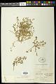 View Euphorbia serrula Engelm. in Emory digital asset number 0