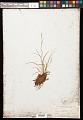 View Carex capillaris L. digital asset number 0