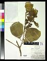 View Terminalia samoensis Rech. digital asset number 0