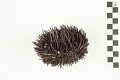 View Purpled-spined Sea Urchin digital asset number 5