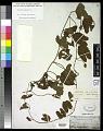 View Calystegia sepium (L.) Aiton digital asset number 0