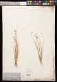View Eleocharis obtusa (Willd.) Schult. digital asset number 0