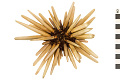 View Slate Pencil Urchin digital asset number 1