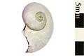 View Purple Bubble Raft Snail digital asset number 1
