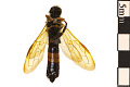 View Sirex Woodwasp, Horntail digital asset number 1