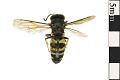 View Black And White Digger Wasp, Sphecid Wasp digital asset number 0